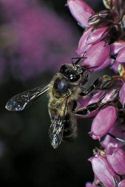 Apis Mellifera (Honey Bee) - Foraging on Bell Heather Flowers by Paul Starosta