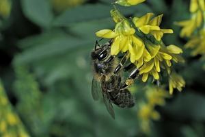 Apis Mellifera (Honey Bee) - Foraging on Ribbed Melilot Flowers by Paul Starosta