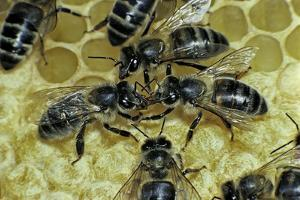 Apis Mellifera (Honey Bee) - Trophallaxis (Mouth-To-Mouth) by Paul Starosta