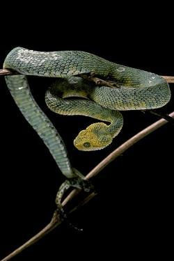 Atheris Chlorechis (Bush Viper) by Paul Starosta
