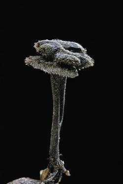 Auriscalpium Vulgare (Ear-Pick Fungus, Pinecone Mushroom, Cone Tooth) by Paul Starosta