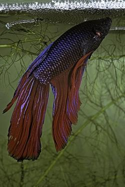 Betta Splendens (Siamese Fighting Fish) - Male Building its Bubble Nest by Paul Starosta