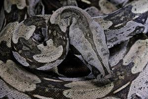Boa Constrictor Constrictor by Paul Starosta