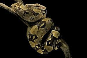 Boa Constrictor by Paul Starosta