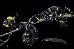 Boiga Dendrophila Melanota (Mangrove Snake) by Paul Starosta