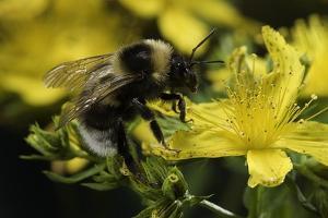 Bombus Hortorum (Small Garden Bumblebee) by Paul Starosta