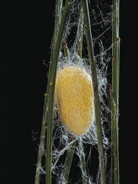 Bombyx Mori (Common Silkmoth) - Cocoon by Paul Starosta