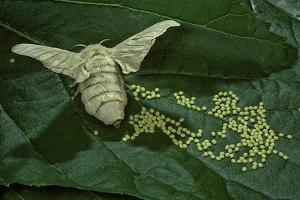 Bombyx Mori (Common Silkmoth) - Female Laying Eggs on Mulberry Leaf by Paul Starosta