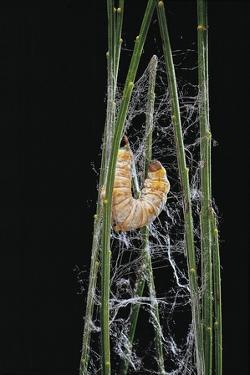 Bombyx Mori (Common Silkmoth) - Larva or Silkworm Spinning Cocoon by Paul Starosta