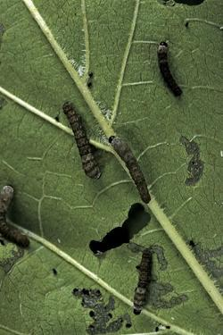 Bombyx Mori (Common Silkmoth) - Young Larvae or Silkworms Feeding on Mulberry Leaf by Paul Starosta