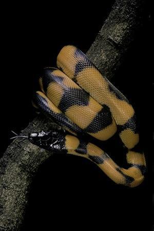 Bothrochilus Boa (Bismarck Ringed Python) by Paul Starosta