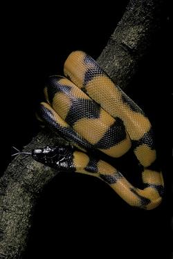 Bothrochilus Boa (Bismarck Ringed Python) by Paul Starosta