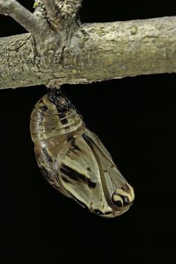 Brassolis Isthmia (Coconut Tree Caterpillar) - Pupa by Paul Starosta