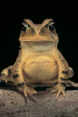 Bufo Brauni (Dead-Leaf Toad) by Paul Starosta