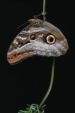 Caligo Idomeneus (Owl Butterfly) by Paul Starosta
