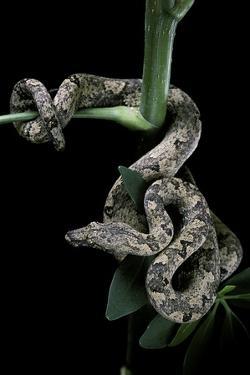 Candoia Carinata Carinata (New Guinea Tree Boa) by Paul Starosta