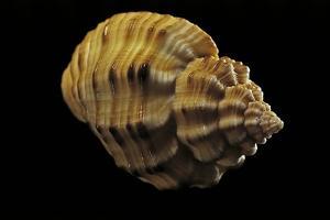 Cantharus Melanostomus by Paul Starosta