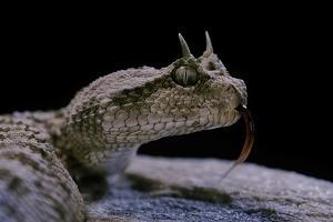 Cerastes Cerastes (Horned Viper) by Paul Starosta