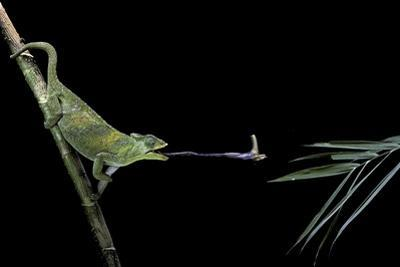 Chamaeleo Johnstoni (Johnston's Chameleon) - Capturing an Insect by Paul Starosta