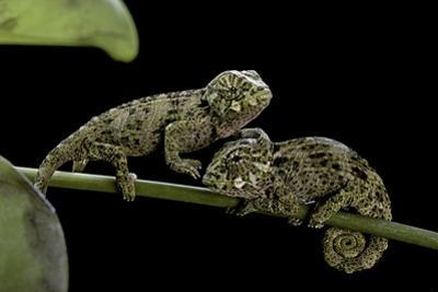 Chamaeleo Johnstoni (Johnston's Chameleon) - Young by Paul Starosta