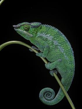 Chamaeleo Pardalis (Panther Chameleon) by Paul Starosta