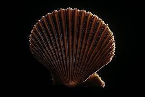 Chlamys Asperrima by Paul Starosta