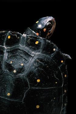 Clemmys Guttata (Spotted Turtle) by Paul Starosta
