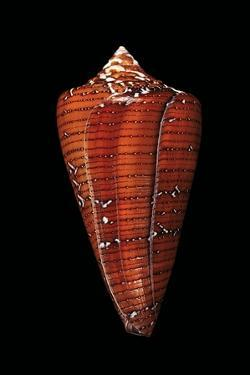 Conus Cedonulli Caledonicus by Paul Starosta