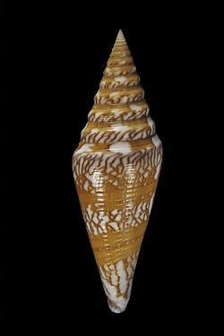 Conus Excelsus by Paul Starosta
