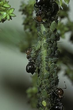 Crematogaster Scutellaris - Ants with Aphids by Paul Starosta