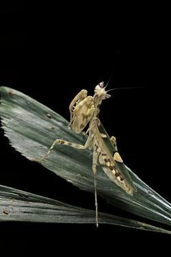 Creobroter Gemmatus (Jeweled Flower Mantis) by Paul Starosta