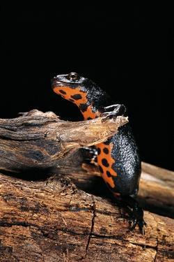 Cynops Orientalis (Fire-Bellied Newt) by Paul Starosta