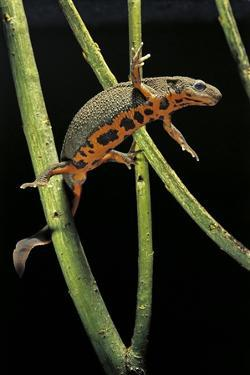 Cynops Pyrrhogaster (Japanese Fire-Bellied Newt) by Paul Starosta
