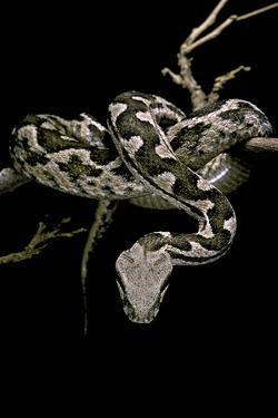 Daboia Lebetina Mauritanica (Moorish Viper) by Paul Starosta