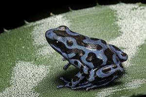 Dendrobates Auratus F. Blue (Green and Black Poison Dart Frog) by Paul Starosta
