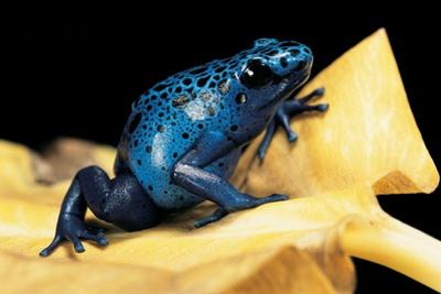 Dendrobates Azureus (Blue Poison Dart Frog) by Paul Starosta