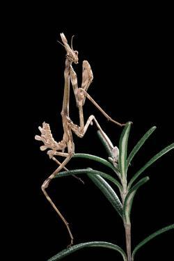 Empusa Pennata (Conehead Mantis) - Larva by Paul Starosta