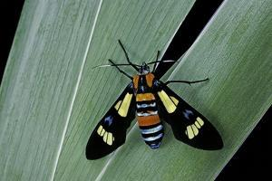 Euchromia Folletii (South African Day-Flying Moth) by Paul Starosta