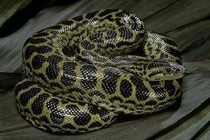 Eunectes Notaeus (Yellow Anaconda) by Paul Starosta