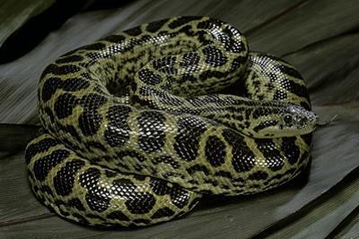 Eunectes Notaeus (Yellow Anaconda) by Paul Starosta