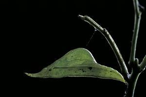 Eurema Venusta (Grass Yellow Butterfly) - Pupa by Paul Starosta