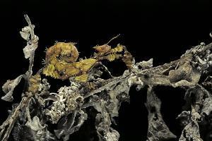 Extatosoma Tiaratum (Giant Prickly Stick Insect) - Larva by Paul Starosta