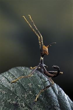 Extatosoma Tiaratum (Giant Prickly Stick Insect) - Very Young Larva by Paul Starosta