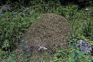 Formica Rufa (Red Wood Ant) - Dome-Shaped Nest by Paul Starosta
