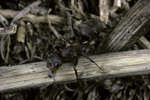 Formica Rufa (Red Wood Ant) by Paul Starosta