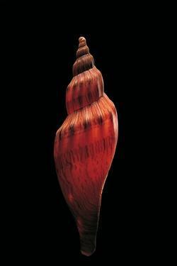 Fulgoria Concinna Corrugata by Paul Starosta