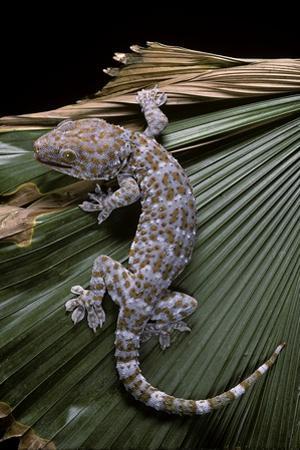 Gekko Gecko (Tokay Gecko) by Paul Starosta