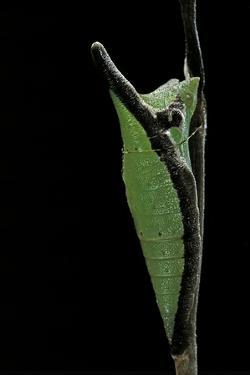 Graphium Stratocles (Swallowtail Butterfly) - Pupa by Paul Starosta