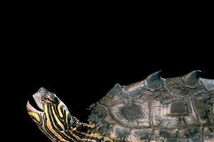 Graptemys Nigrinoda (Black-Knobbed Map Turtle) by Paul Starosta