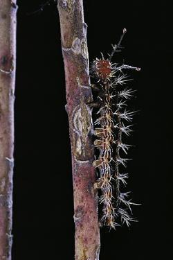Hamadryas Februa (Gray Cracker Butterfly, Ferentina Calico) - Caterpillar by Paul Starosta